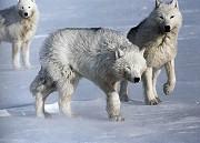 Arktičtí vlci