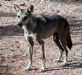 Arabský vlk