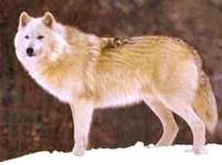 Bernardův vlk