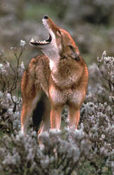 Ethiopský vlk