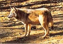 Vlk z údolí Mackenzie