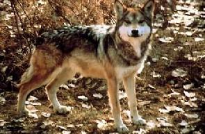 Mexický vlk