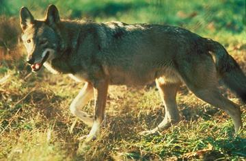 Červený vlk