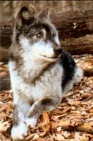 Výchadní vlk