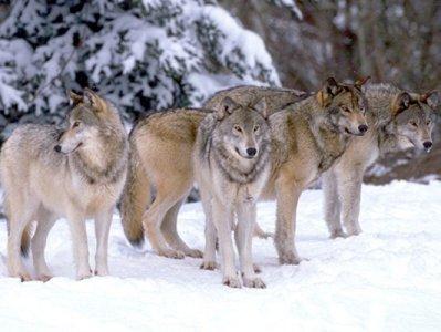 http://www.vlci.info/images/wolf013.jpg